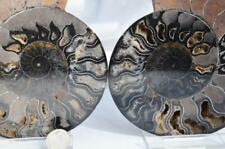 9780 RARE 1in100 BLACK Ammonite PAIR Deep Crystals 110myo FOSSIL XXL 150mm 5.8""