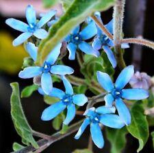 Oxypetalum caeruleum Tweedia Blue Star Milkweed 10 seeds