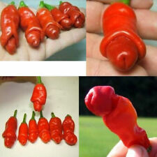 Thai Sun Sexy Pornographic Chili Pepper Capsicum annuum Chili Seeds Shipping USA
