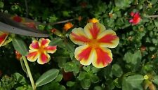 Portulaca/Purslane 5 cuttings Succulent cactus house plant RARE color