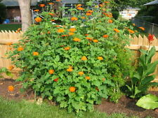 200+MEXICAN SUNFLOWER Seeds Humming Birds BUTTERFLIES Bees LITTLE SEED STORE