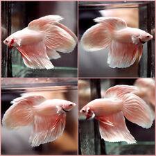 New ListingLive Betta Fish Dragon Pink Gold Veil Tail Vt Male #A404