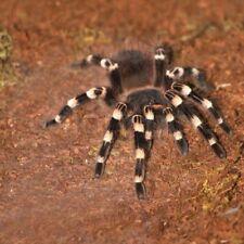 Giant White Knee Acanthoscurria geniculata 8-10cm bug spider tarantula