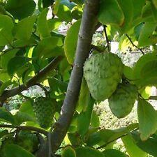 5 Seeds *Annona Cherimola * Cherimoya *Sweet, Juicy, White Fleshed Exotic Fruit!