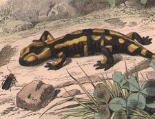 1839 Gravure originale salamandre à queue plate salamandres reptiles sauriens