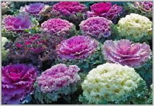 ORNAMENTAL CABBAGE MIX - Brassica Oleracea (50 SEEDS)