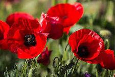 Aker Fassi Red Poppy powder 100% Natural VEGAN Lipstick WITHOUT glitter 10 gr