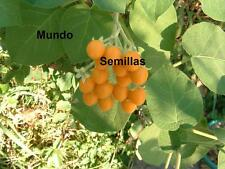 ARBOL DE TOMATES AMARILLO  tamarillo cyphomadra 10 semillas seed