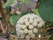 Hoya Latifolia cera vegetale di grandi dimensioni che sboccia impianto di casa