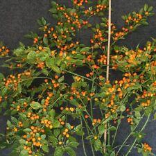 Capezzoli di Scimmia orange Chili sehr scharfe Chilli hoher Ertrag