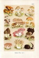 1899 MARTIN LITHO edible mushrooms: chanterelle, shanklet, morel, truffle, ...