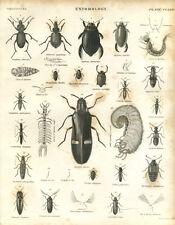 Antique print Entomology BEETLES L6  copper plate engraving - 1842