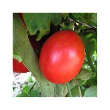 20 Graines /seeds de tomate siberian  Bio (précoce)