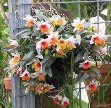 Dendrobium Bellatulum Four Bulbs, New Growth Orchid