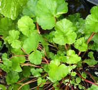 Extremely Fragrant Coconut-Scented Geranium / Pelargonium grossularioides seeds