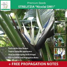 """Strelitzia Nicolai """"Giant White Bird of Paradise DM1™"""" seeds. Exotic foliage."""