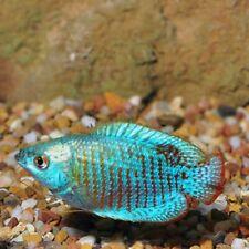 New listing Neon Blue Dwarf Gourami - (Colisa lalia)- Live Freshwater Fish