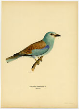Antique Print-CORACIAS GARRULUS-EUROPEAN ROLLER-Von Wright-1917