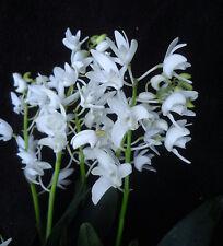 Dendrobium kingianum 'Crystal', orchid species
