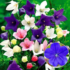 200pcs Mixed Balloon Flower Seeds Chinese Bellflower Platycodon Grandiflorus