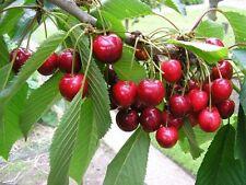 Best of Cherry Tree Seeds BING Cherry Trees - Sweet Fruit -10 Seed
