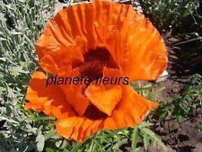 PAVOT D' ORIENT ROUGE VIF : une vivace avec des fleurs énormes ! - 100 graines -
