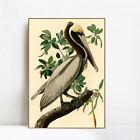 "Framed Canvas Giclee Print Brown_Pelican by John James Audubon 20""x28"""