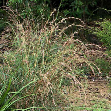Native Barbed wire grass (Cymbopogon refractus)100 Seeds Reveg Depleted Sites