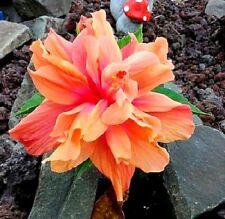 "Hibiscus rosa-sinensis ""D.J. O'Brien"" x 1 small plant"