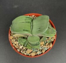 Gasteria armstrongii white variegated of KG