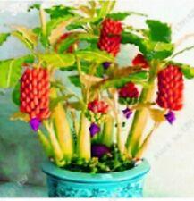 Platano rojo enano semillas frescas ecologicas seeds nuevas