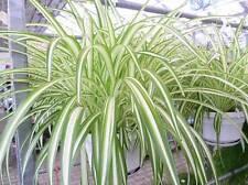 Grünlilie (Chlorophytum) im Hängetopf