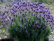 French Lavender 100 seeds Lavandula stoechas * Elegant * Beautiful * CombSH B48