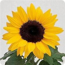 Dwarf Sunflower Seeds, Dwarf Yellow Pygmy, Heirloom Sunflower Seeds Non-Gmo 50ct