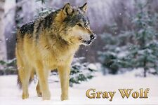 Gray Wolf, aka Timber Wolf of North America, Snow, Canis Lupus - Animal Postcard