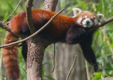 A1| Red Panda Poster Art Print A1 Size 60 x 90cm Animal Wall Décor Gift #14154