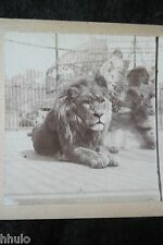 STA421 Lion en cage Zoo animaux ancien STEREO albumen Photography Stereoview