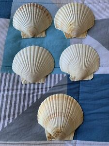Natural Fan Seashells 14 Cm Across By 13.5 Height. Decorative
