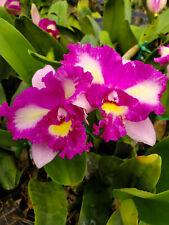 Bin-Rlc. Hsinying Mini Beauty #15 Beautiful! Tri-Color-Fragrant Cattleya! Nice!
