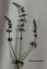 Salbei (Salvia),  Heilpflanzen, für Herbarium, (Lamiaceae)