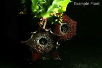705 Huernia spiny norman , succulent, plants, cactus, Asclepiadaceaefe
