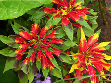 200 AMARANTHUS TRICOLOR POINSETTIA FLOWER SEEDS + Free Gift!