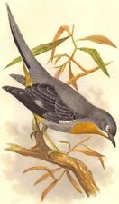 SEARCHER. Tree Climber. Whiskered Fantail c1870 old antique print picture