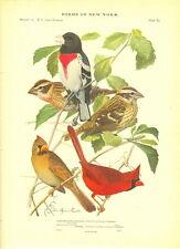 Rare 1916 Antique Bird Print ~ Grosbeak Cardinal ~ Excellent Details