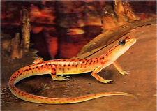 Cave Salamander - 3D Lenticular Postcard Greeting Card