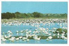 Greater Snow Geese Chincoteque Wildlife Assategue Island, Va & Md Postcard