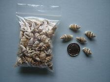 100 SMALL TINY NASSA SEASHELLS Sea Shells Craft Wedding Beach Confetti Table