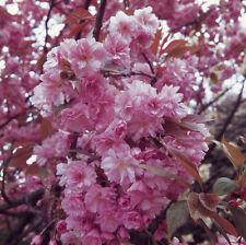 Japanese Flowering Cherry Tree 9L Pot Bare Root Prunus Kanzan Ornamental Pink