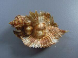 Seashells-Pterynotus miyokoe 59-m.m. f+++