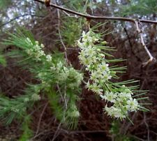 Cluster Leaf Asparagus, Ideal House Plant - Fresh Seeds